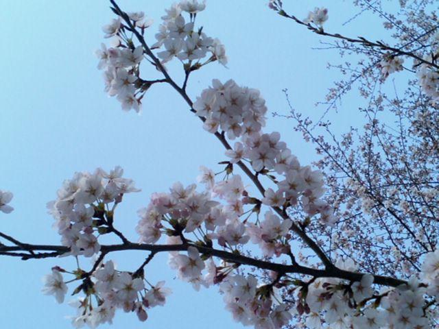 大平山神社の桜