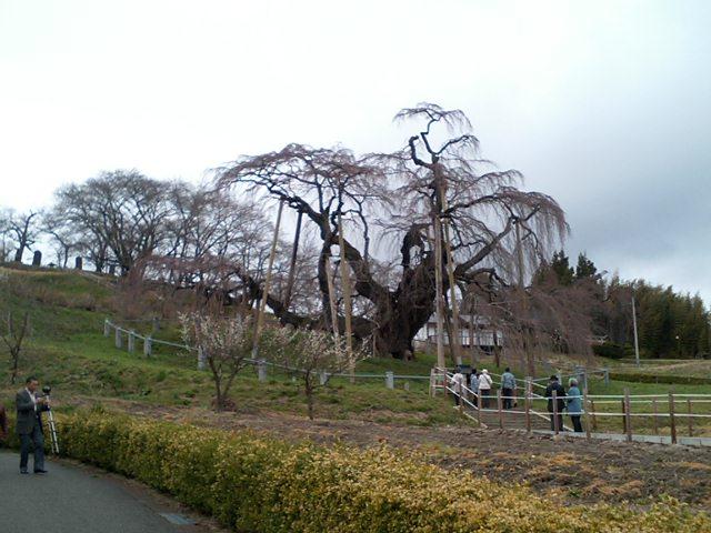 今日は三春の滝桜